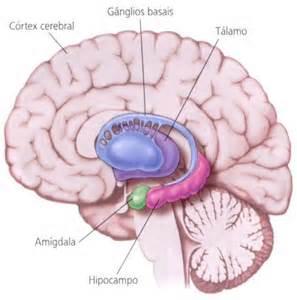 Como funciona a EFT – Amígdala e DR. Feinstein